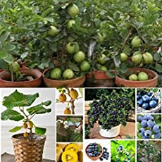 Natural garden plants Guava, Kiwi, Blueberry Seeds 3 Combo Pack 30 Pieces Packet