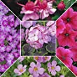 15 Patio Plug Plants /Perfect Pinks Collection for Baskets and Containers