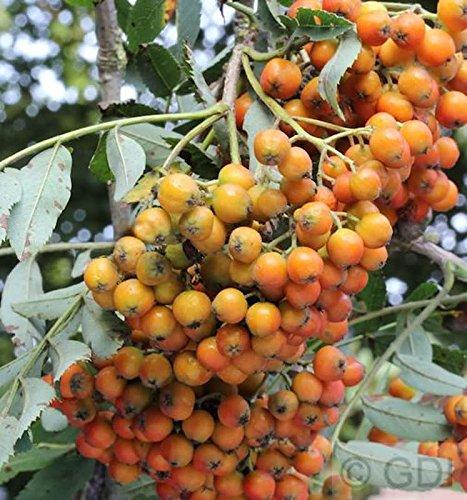 Mährische Eberesche Autumn Spire® 80-100cm – Sorbus aucuparia