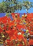 TROPICA - Flammenbaum (Delonix regia) - 6 Samen
