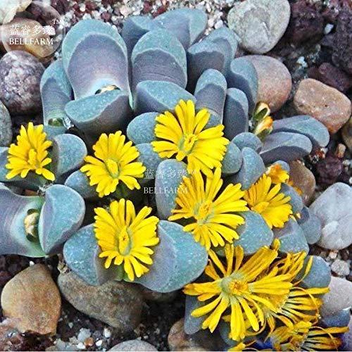 Go Garden Bellfarm Bonsai Lithops divergens amethystina Rare Mesembs Pierres vivantes Cactus Décore haute Germination de/pack