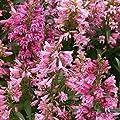 Staude Bartfaden rosa blühend, 5 Stauden von Amazon.de Pflanzenservice bei Du und dein Garten