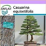 SAFLAX - Bonsai - Australische Strandkiefer - 200 Samen - Casuarina equisetifolia