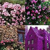 Ncient 100 Semillas Enredadera Berro de roca Semillas Raras Raras Flores Plantas Bonsai para Maceta Jardín Balcon Interior y Exteriores