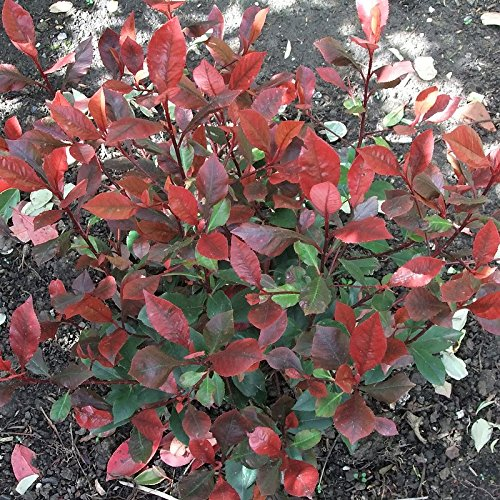 photinia-fraseri-little-red-robin-laurier-nain-a-feuilles-rouges