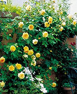 Large Creamy White Blooms Strong Fragrance 5.5lt Potted David Austin Shrub Garden Rose TRANQUILLITY
