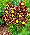 """BALDUR-Garten Sparaxis """"Fire King"""" 20 Zwiebeln Zigeunerblume von Baldur-Garten auf Du und dein Garten"""