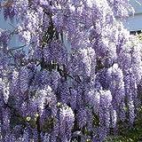 Blauregen - Wisteria sinensis - Samen