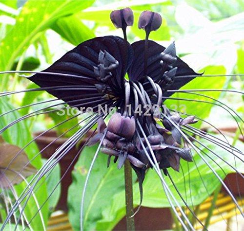 HOO PRODUITS -Black Tiger Shall rares fleurs d'orchidées de Graines Fleurs d'orchidée graines pour le jardin et les plantes Accueil Nouvelle arrivée!