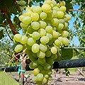 Solaris, gelbe Traube, pilzfester Wein, Wein Rebe gestäbt im 2 L Topf von Grüner Garten Shop auf Du und dein Garten