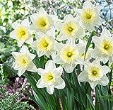 #5: Kraft Seeds Daffodil Poeticus Nargis Light Fragrance Flower Bulbs, - Set of 12
