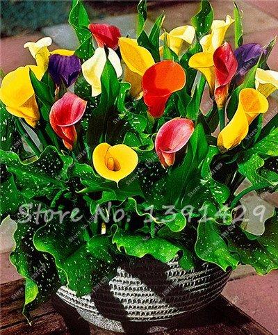 200 Calla Lily Graines, Calla Lily Bulbes, Chambre Fleurs Rhizome Zantedeschia aethiopica, Bonsai jardin Plantes d'intérieur Plante en pot 15