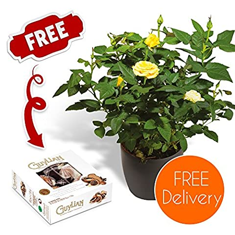 Fresh Flowers Delivered - Free UK Delivery - Potted Yellow Rose Bush with Free Chocolates and Bonus Flower Care eBook - Perfect for birthdays, anniversaries and thank you