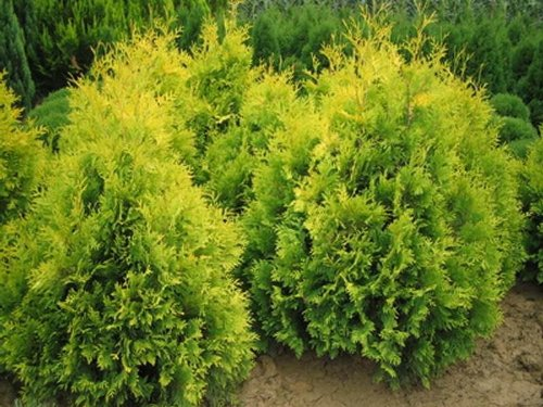 8-pack-9cm-pots-dwarf-conifer-thuja-occidentalis-sunkistwhite-cedar-bright-yellow-evergreen-shrub
