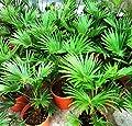 Future Exotics Trachycarpus Wagnerianus winterharte Palme von Future Exotics bei Du und dein Garten