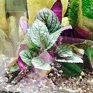 Fish Around Aquarium Live Plant Purple Prince – Royal Guise 14