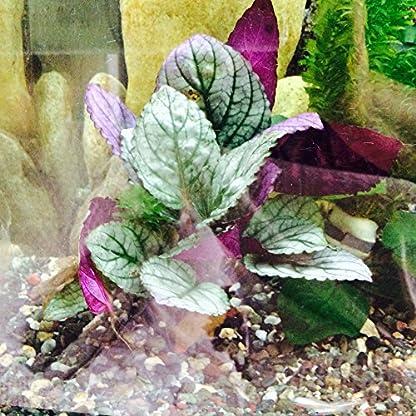 Fish Around Aquarium Live Plant Purple Prince – Royal Guise 1