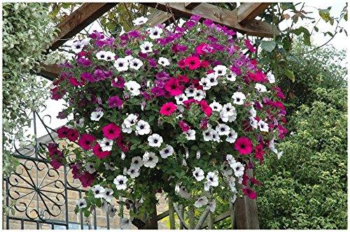 Lot de 20 graines Petunia pendants Balcony Mix (pendaison modérée) - annuelle