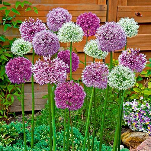 Qulista Samenhaus - Rarität Beet- und Kübel Zierlauch-Mischung Violett Blumensamen mehrjährig winterhart für Garten, Balkon und Terrasse