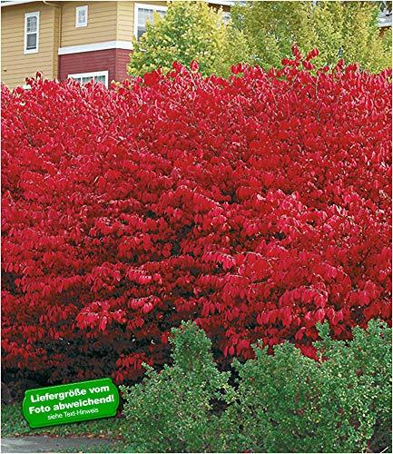 BALDUR-Garten Euyonimus Compact 'Burning Bush' Spindelstrauch, 3 Pflanzen winterhart