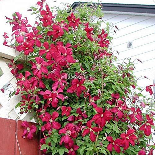 Kisshes giardino - 50 pz giardino clematide pianta rampicante semi pianta ornamentale perenne sempreverde per il giardino fiori semi arrampicata clematis hardy