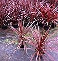 Cordyline australis Red Star Keulenlilie winterhart von Future Exotics bei Du und dein Garten