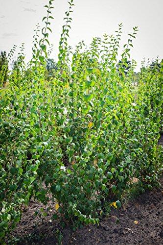 duftender bauernjasmin 60 100 cm zierstrauch winterhart busch f r sonne halbschatten