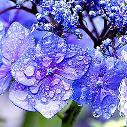 Hydrangea Premium Soap Making Fragrance Oil, Body Bath, Lotions Creams, High Concentrated 60ml