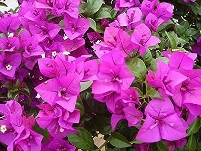 La mezcla 100pcs color Bougainvillea spectabilis Willd Semillas de flores de plantas bonsái plantadores de marihuana Semillas de flores flor
