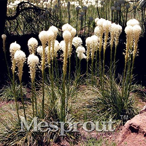 100 pièces rares Graines Ours Herbe de frais Ampoules, Jardin des Plantes en pot Bonsai Fleur Terrasse Jardin