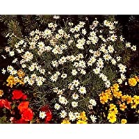 Portal Cool Semillas Argyranthemum Blanco como la Nieve anuales