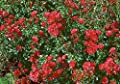 Bodend.Rose 'Gärtnerfreude' -R- ADR-Rose, im 4 Liter Container von Rosen-Union auf Du und dein Garten