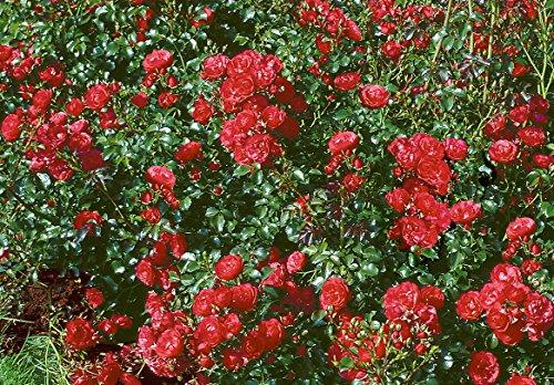 'Gärtnerfreude' -R-, Rosen-Halbstamm im Container, ADR-Rose