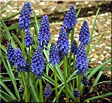 Humphreys Garden Muscari Armeniacum x 50 Bulbs Bulbes