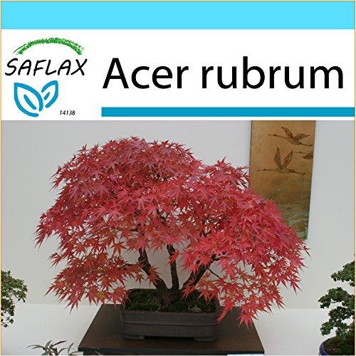 SAFLAX - Confezione regalo - Acero rosso - 20 semi - Acer rubrum