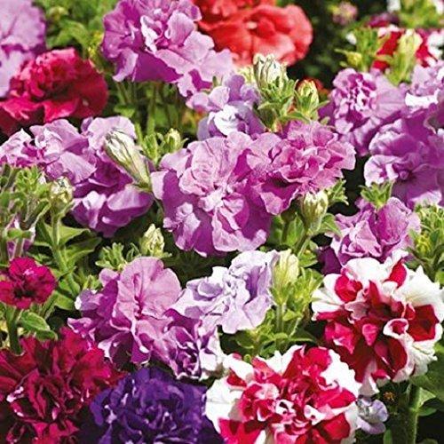 seekay Pétunia Grandiflora F1 DOUBLE DUO mélange - 50 granulés graines - annuel