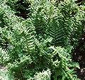 Königsgoldschuppenfarn - Dryopteris affinis von Baumschule auf Du und dein Garten