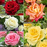 Hybrid Tea Rose collection x 5 bare root bushes