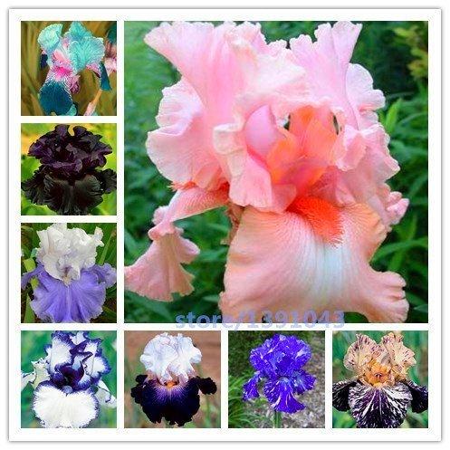 JER 100 Graines de Iris sain et délicieux Grains de Fleurs Sauvages mélange Produits pour Maison/Jardin