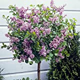 YouGarden Lilac Palibin Standard Tree, 3 Litre Pot