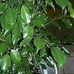 Ficus benjamina, 20 seeds
