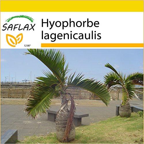 SAFLAX - Anzucht Set - Flaschenpalme / Faßpalme - 3 Samen - Hyophorbe lagenicaulis