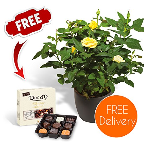 fresh-flowers-delivered-free-uk-delivery-potted-yellow-rose-bush-with-free-chocolates-and-bonus-flow