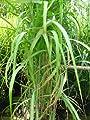 Chinagras Riesen Chinaschilf Miscanthus sinensis giganteus im 5 Liter Pflanzcontainer von Plantenwelt Wiesmoor bei Du und dein Garten