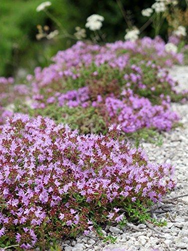 Teppich-Thymian Thymus serpyllum 200 Samen (Thyme Creeping)