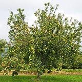Dominik Blumen und Pflanzen, Apfelbaum 'Gravensteiner',  Busch, 1 Pflanze, ca. 60 - 80 cm hoch, 5 - 7 Liter Container, plus 1 Paar Handschuhe gratis