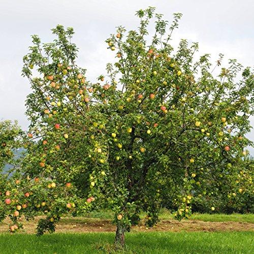 """Dominik Blumen und Pflanzen, Apfelbaum """"Gravensteiner"""",  Busch, 1 Pflanze, ca. 60 – 80 cm hoch, 5 – 7 Liter Container, plus 1 Paar Handschuhe gratis"""