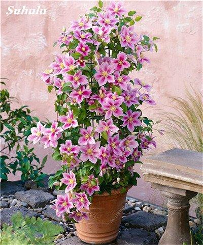 100 Pcs Clematis Graines de plantes Belle Paillage Graines de fleurs Bonsai ou un pot de fleurs vivaces pour jardin Mix Couleurs 5
