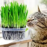 Handfly Premium Katzengras Samen Mini Bio Gras Grass Kit Pflanzensamen Hausgarten Bio Weizen Gras Pflanze Wachsen Weizengras für Haustiere: Hund, Katze, Vogel, Kaninchen (1 Packung)