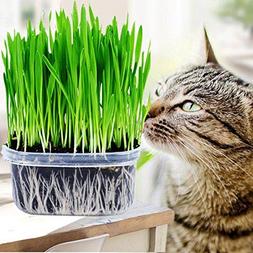 engras Samen Mini Bio Gras Grass Kit Pflanzensamen Hausgarten Bio Weizen Gras Pflanze Wachsen Weizengras für Haustiere: Hund, Katze, Vogel, Kaninchen (1 Packung) ()